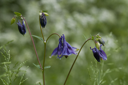 Aquilegia vulgaris is a perennial plants that are found in meadows, woodlands