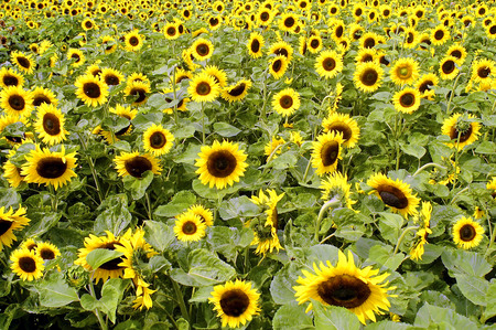 sunflower (Helianthus annuus). What is usually called the flower on a mature sunflower is actually a flower head (also known as a composite flower) of numerous florets (small flowers) crowded together. The outer petal-bearing florets (ray florets) a