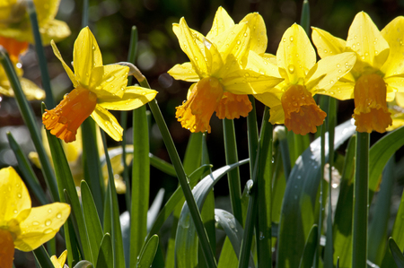 perennials: Narcissus is a genus of mainly hardy, mostly spring-flowering, bulbous perennials in the Amaryllis family, subfamily Amaryllidoideae.