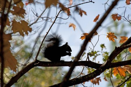 squirrel in a maple tree eating nuts Stock Photo