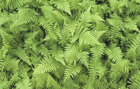 plants species: Ferns first appear in the fossil record 360 million years ago in the Devonian Era[5] but many of the current families and species did not appear until roughly 145 million years ago in the early Cretaceous, after flowering plants came to dominate many envi Archivio Fotografico