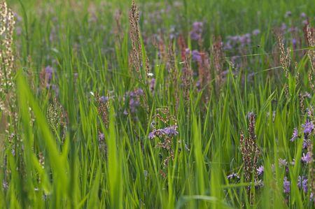 Pink Ragged Robins bloom in a field
