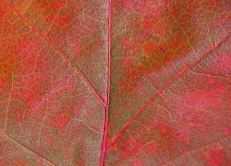 indian summer: Detail of red autumn leaf in Indian Summer Stock Photo