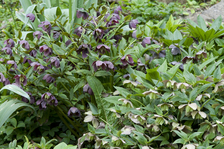 Hellebore  is a traditional cottage garden favourite, because it flowers in the depths of winter; large-flowered cultivars are available, as are pink-flowered and double-flowered selections