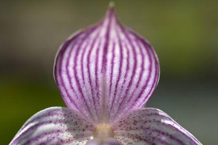 lier: The Yunnan Cypripedium (Cypripedium yunnanense), wild orchid