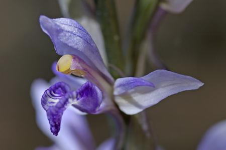 olympus: Violet Limodore (Limodorum abortivum) in mountain olympus at Greek island Lesvos