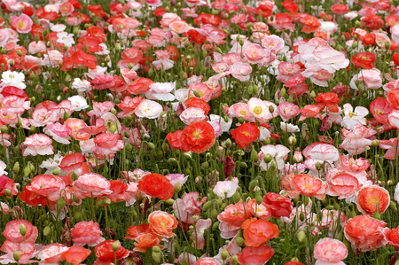 herbaceous: Poppies or wild roses are herbaceous annual, biennial or short-lived perennial plants.  Poppies can be over 4 feet tall with flowers up to six inches across. Stock Photo