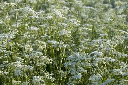 cicuta: Cow parsley grows in sunny to semi-shaded locations in meadows and at the edges of hedgerows and woodland. It is a particularly common sight by the roadside.