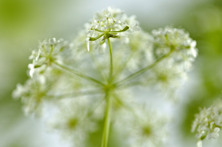Cow parsley grows in sunny to semi-shaded locations in meadows and at the edges of hedgerows and woodland. Stock Photo