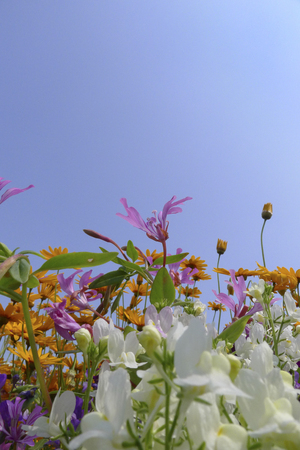 floristry: wild flower fields with annual plants from seeds. Stock Photo