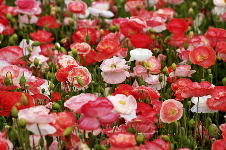 Poppies or wild roses are herbaceous annual, biennial or short-lived perennial plants.  Poppies can be over 4 feet tall with flowers up to six inches across. Stock Photo