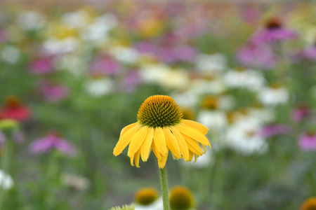 echinacea: echinacea flowers with mixed colors in a field