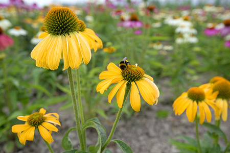 coneflowers: echinacea flowers with mixed colors in a field