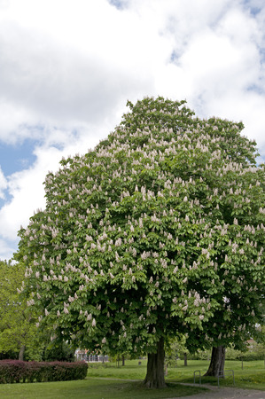 Chestnut tree full of blossom in cloudy sky