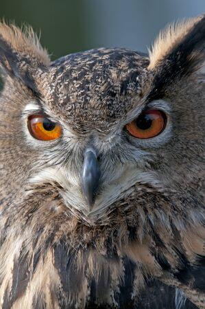 A beautiful owl with bright orange eyes
