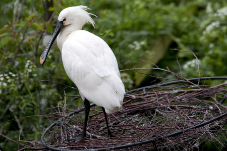 White spoonbill in nature area, the Netherlands