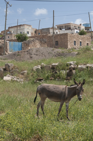 house donkey: Donkey in grass field in front of a traditional village, Mardin Turkey Stock Photo