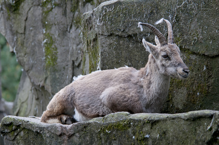 Capricorn on a rock in a zoo the Netherlands Stock Photo