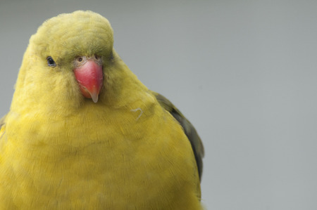 periquito: A yellow parakeet with a red beak Foto de archivo