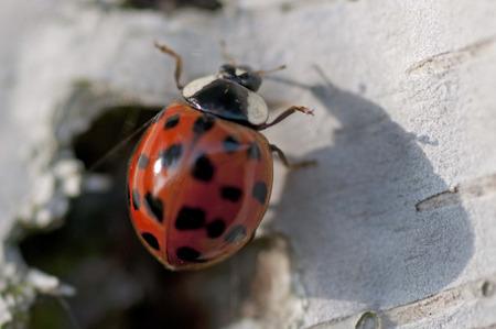 bug's: Lady bugs Stock Photo