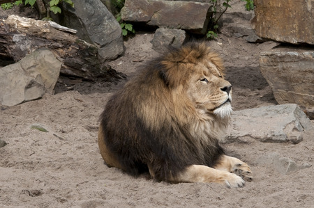 enyoing: lion sitting in the sand enyoing the sun Stock Photo