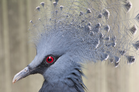 blue bird with feather head and red eyes