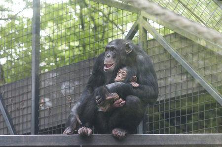 cage gorilla: Young chimp in the arms of the mother chimpansee