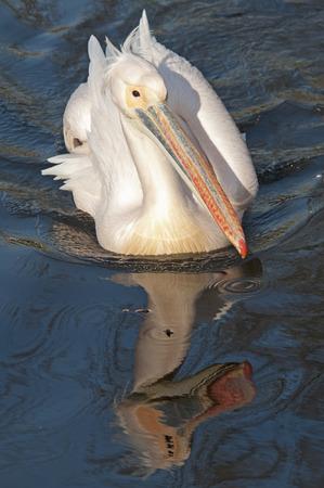 miror: Beautiful Pelican bird swimming in blue water