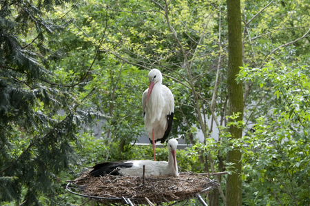a stork in nest in nature forest