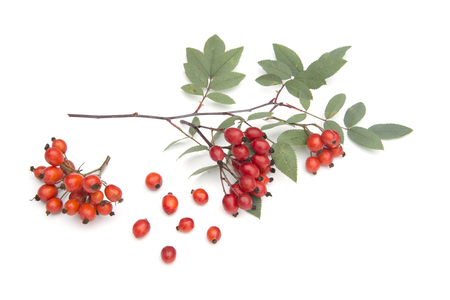 Sorbus isolated on a white background Stock Photo