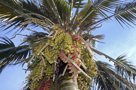 palmtree with fruits at La Palma Spain