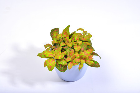 The leaves of this potted fittonia are vividly bright green with intriguing red veins