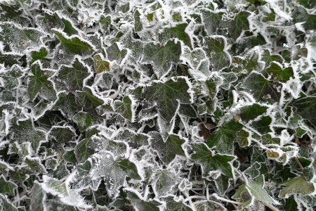 Frosted Hedera Helix in a winter wonderland