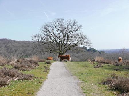 highlander: Una manada de montañeses paseando por las colinas.