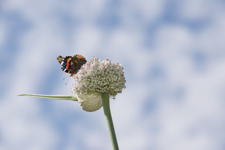 A beautiful butterfly is in the process of pollinating an onion plant.
