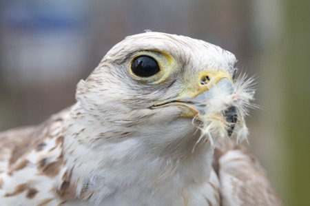 A falcon that just finished eating still has some feathers left over in its beak.