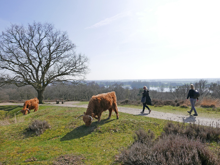 A couple of highlanders grazing in a field while people wallk by.