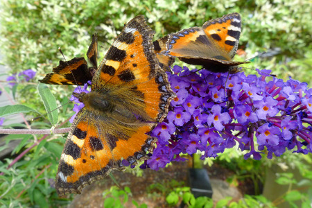 Gorgeous butterflies in the process of pollinating beautiful flowers. Stock Photo