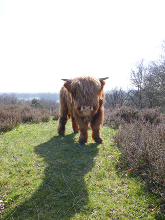 A beautifully furry highlander standing in a field.
