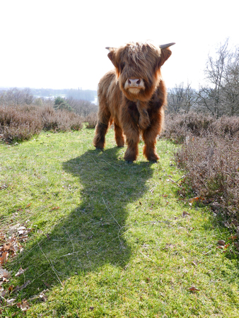 highlander: A beautifully furry highlander standing in a field.