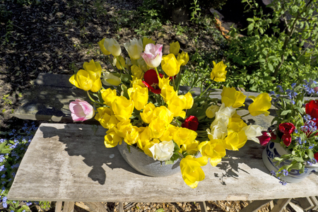 bulb fields: Picking Tulips from the garden to make bouquets Stock Photo