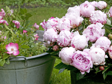 tin: Peony bouquet in a vintage tin bin in the garden