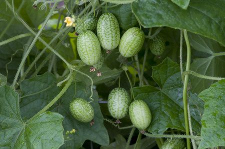 Melothria scabra, mouse melon a sweet delicious vegetable