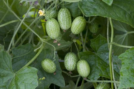 Melothria scabra, mouse melon a sweet delicious vegetable