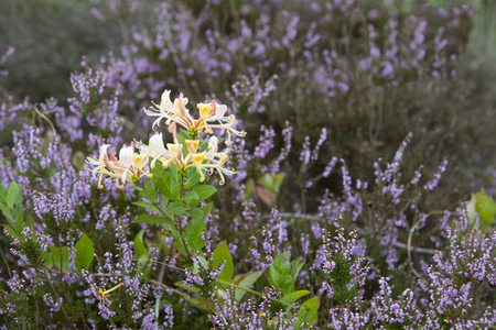 Flowering Heath with Honeysuckle at island Texel