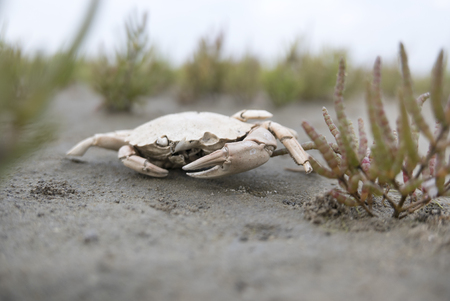 dead crab in between samphire and sand Stock Photo