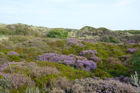 Flowering heath at island Texel, The Netherlands