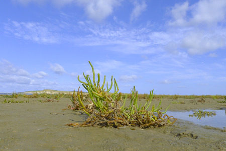 samphire growing in sand at the island Texel, The Netherlands