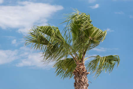 windy day: Top of a palm tree in a windy day