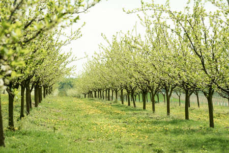 plum grove: Line of plum trees in beautiful orchard